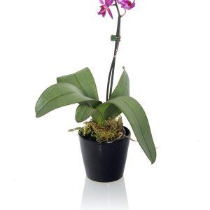 MINI ORCHID PLANTS flower
